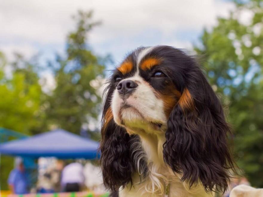 Cavalier King Charles Spaniel - idealny pies dla dziecka